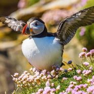 puffin-stretching.jpg